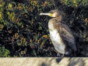 Cormorant at Holham