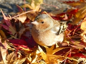 Chaffinch in fallen Autumn leaves.(photo challenge)