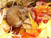 Mouse hiding in Autumn leaves (photo challenge)