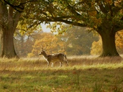 Fallow deer in the golden Autumn landscape.(photo challenge)