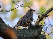 thrush in tree