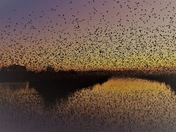 Starlings reflections