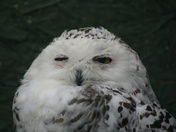 Sleepy Snowy Owl.