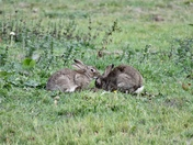 Rabbits washing each other