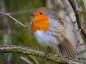 Robin close-ups