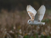 Barn Owl Close-up.