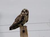 Short Eared Owls .