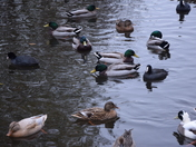Ducks seen today on Leathes Ham