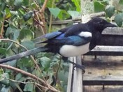 A MAGPIE VISITS