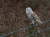 Barn Owl Checks me Out.