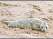 Horsey Gap beach seals, seal pup only one hour old