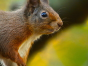 A beautiful portrait of a Red Squirrel last week in Scotland.