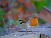 Another Robin :)