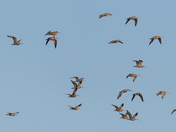A Herd of Curlews