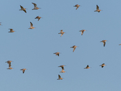 A Herd of Curlews