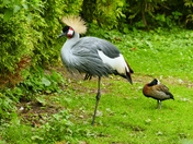 EAST AFRICAN CROWNED CRANE,( AND FRIEND)