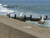 GULLS HOPING SOMEONE DROPS SOME CHIPS