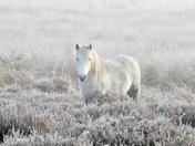 Pony on a frosty foggy roydon common