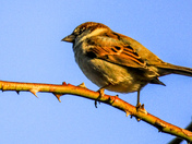 Sparrows in the sun