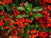 full of berries ready for christmas