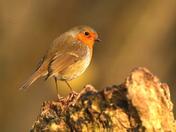 A beautiful Christmas Robin.