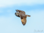 Short Eared owls