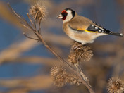 A Goldfinch feeds on Seeds.