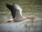 Flying low graylag goose