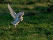 Marshland Barn Owl