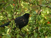 BLACKBIRD ENJOYING THE BERRIES