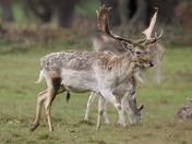 A fallow deer stag sporting a new hairstyle
