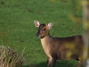 Muntjac on the lawn