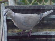 IMAGES OF A COLLARED DOVE