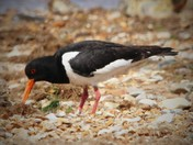 Oystercatcher on the shore