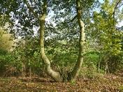WISHBONE TREE