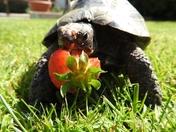 Trev the tortoise