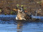 Fieldfare taking a bath.
