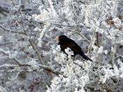Blackbird amongst the frost
