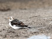 Snow Bunting  -- a Winter visitor.
