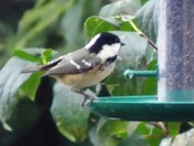 A COALTIT ON THE FEEDER