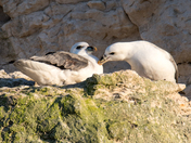 Fulmars on the cliffs
