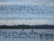 Breydon birds
