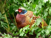 Beautiful pheasant hides in the undergrowth.