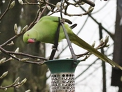 Ring Necked Parakeet v Grey Squirrel