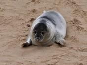 New Seal Pups at Horsey