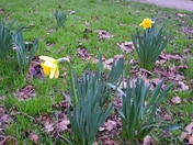 Early  Daffodil