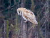 The beauty of owls: barn owl hunting