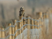 Short Eared Owls and Kestrel
