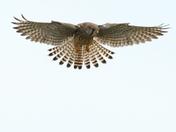 Short Eared Owls and Kestrel