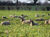 New Year well fed sheep.